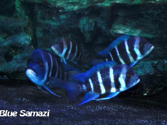 Blue Samazi Standortvariante aus Tansania