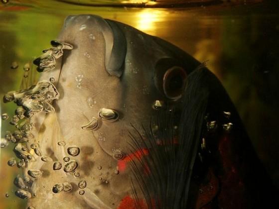 Astronotus ocellatus