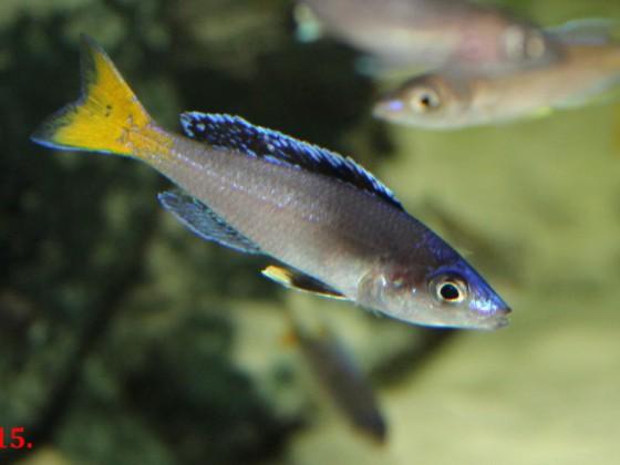 Cyprichromis leptosoma Utinta yello tail