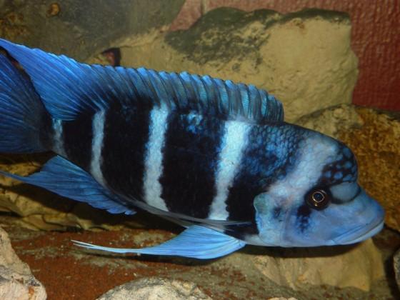 Cyphotilapia gibberosa, Blue Zaire