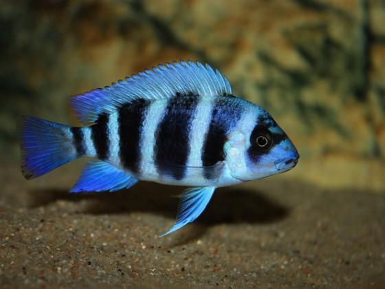 Cyphotilapia gibberosa Blue Zaire  - Nachwuchs -