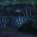 Blue Samazi Zuchtgruppe