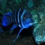 Blue Zaire Moba