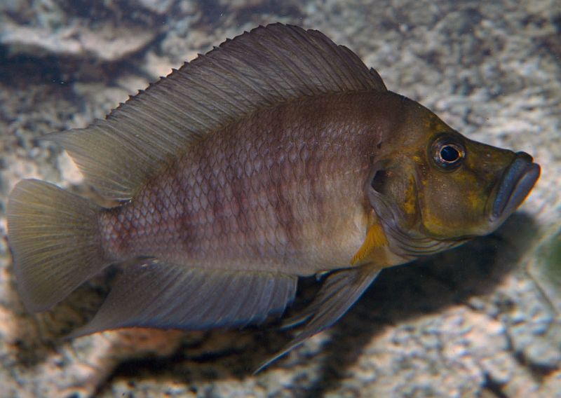 "Altolamprologus compressiceps ""Red Fin"""