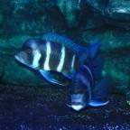 Blue Samazi zwei Weibchen