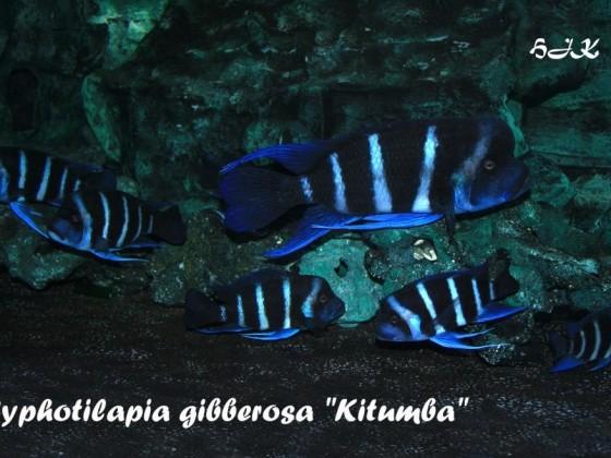 Blue Zaire Kitumba - Zuchtgruppe