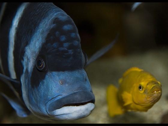 Gibberosa Blue Zaire(04)