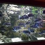 Frontosa Gibberosa Blue Zaire Moba WF Gruppe  in 3000l Becken