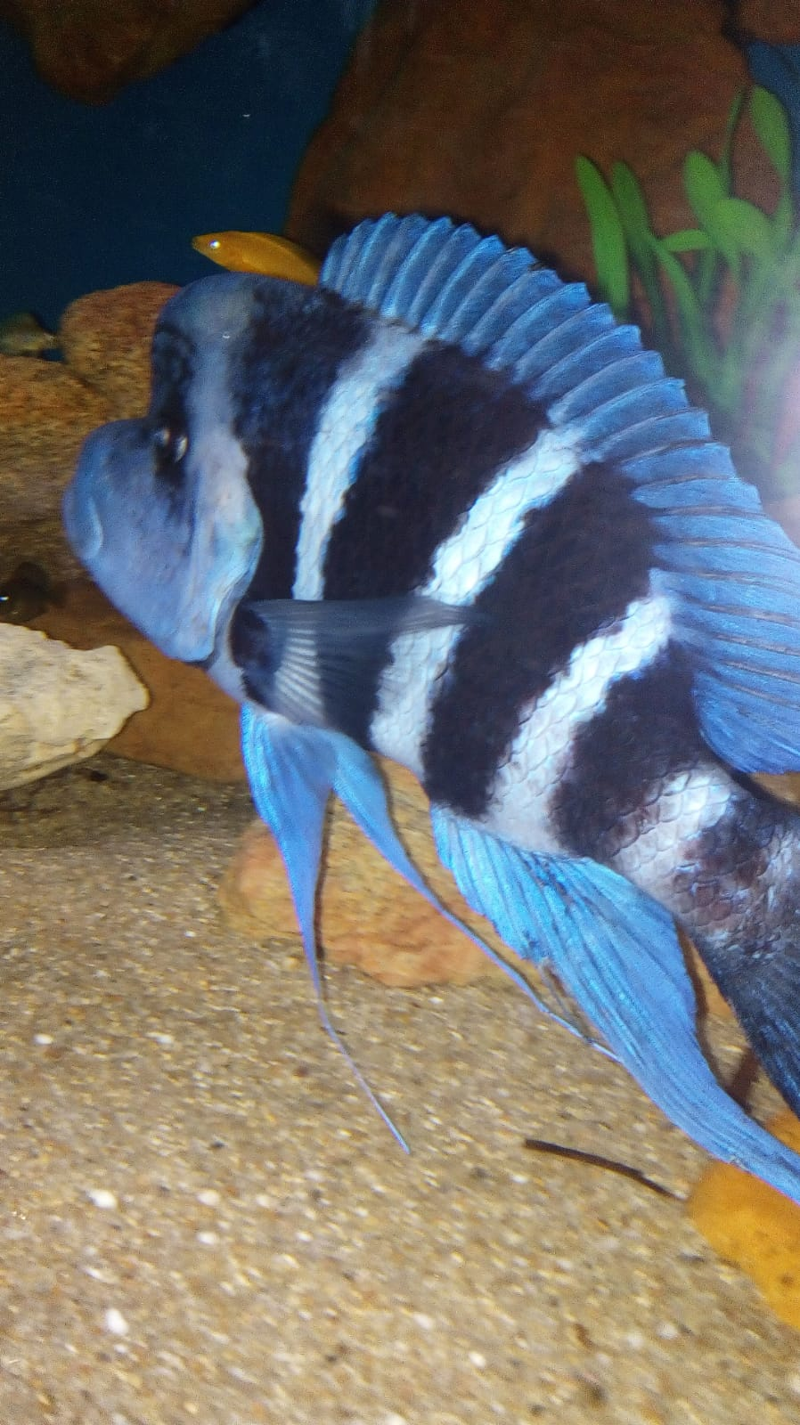 Cyphotilapia Blue Zair Moba WF