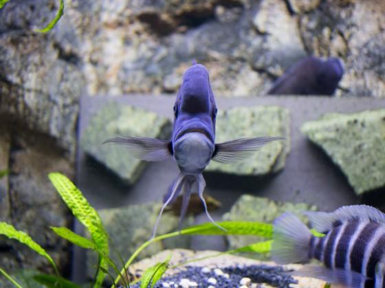 Cyphotilapia Frontosa - Kigoma