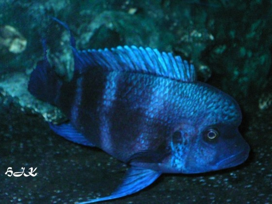 Blue Kipili Männchen