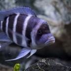 Cyphotilapia Gibberosa - Blue Zaire
