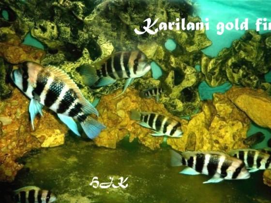 Karilani gold fin  eine Variante aus Tansania