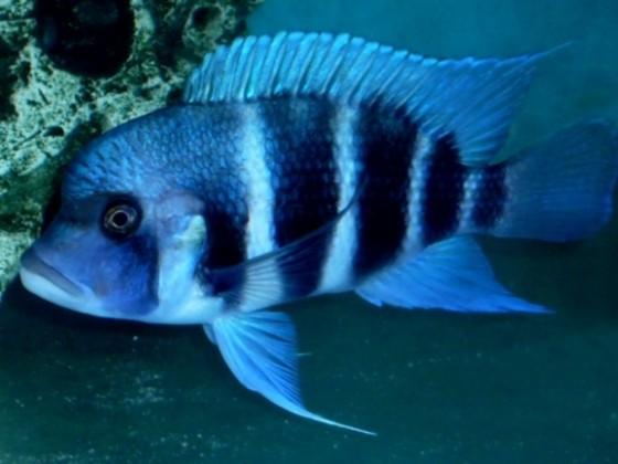 Blue Samazi