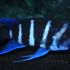 Blue Zaire Kitumba Zuchtmännchen