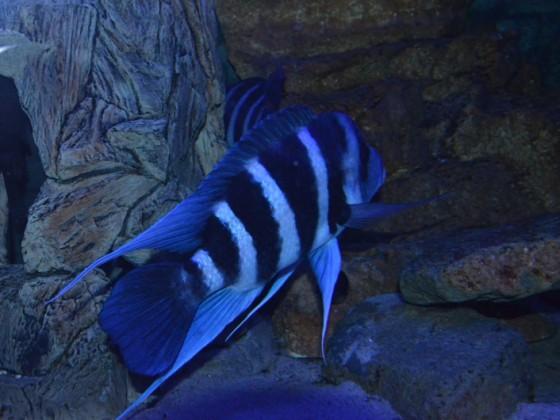Cyphotilapia Gibberosa Blue Zaire Moba F1