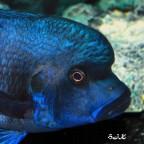 Blue Kipili