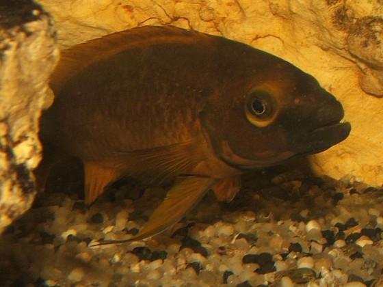 Neolamprologus leleupi / longior
