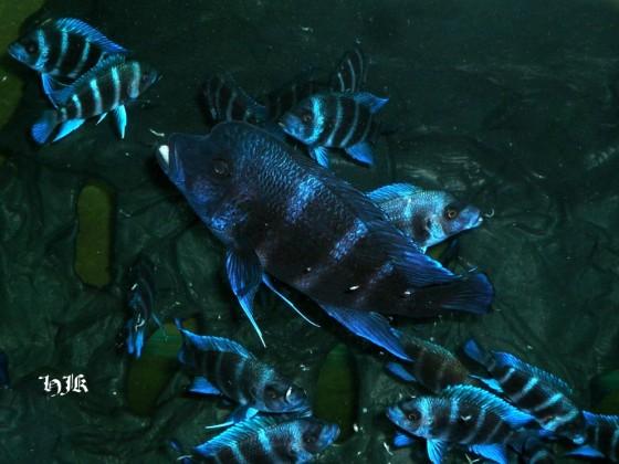 Blue Kipili Männchen mt der NZ