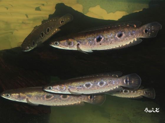 Schlangenkopffische
