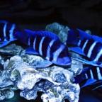 """""""Der echte Blaue"""" aus Zaire"""