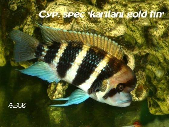 Karilani gold fin  Männchen